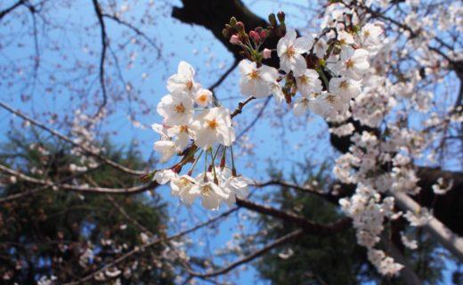 外苑前の桜